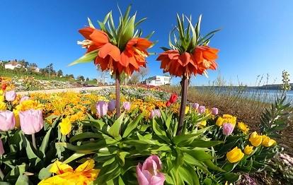 Blütenpracht im Uferpark (Bild: Achim Mende)